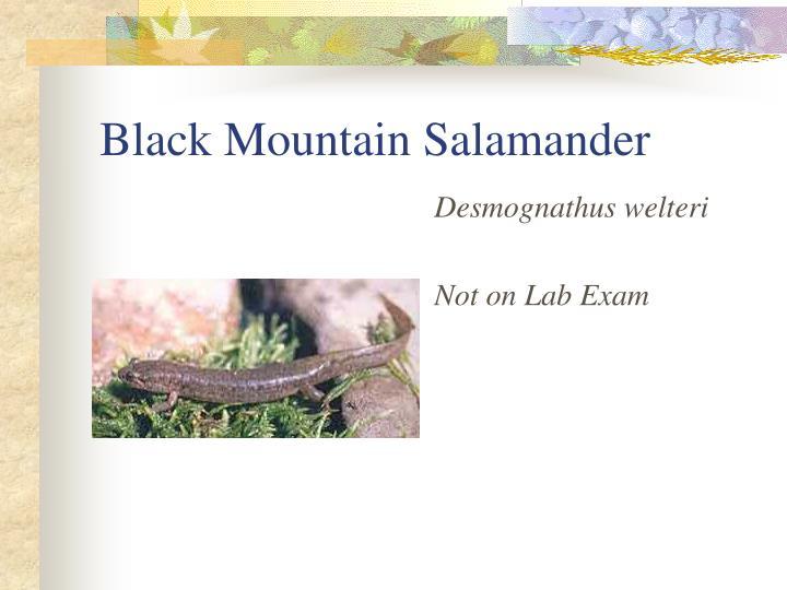 Black Mountain Salamander