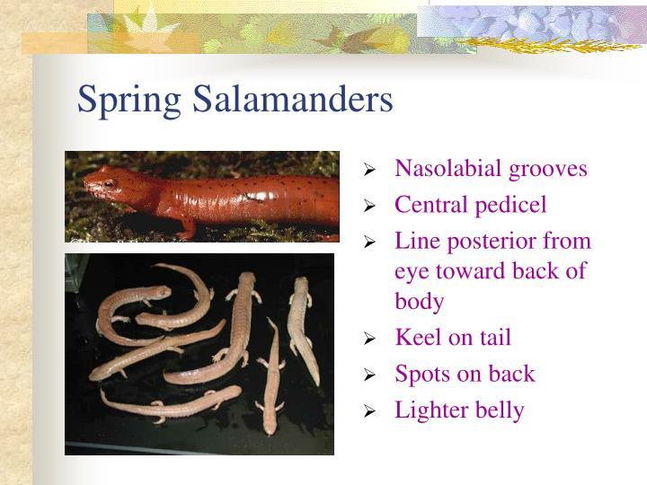 Spring Salamanders