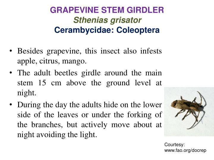 GRAPEVINE STEM GIRDLER