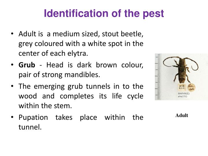 Identification of the pest