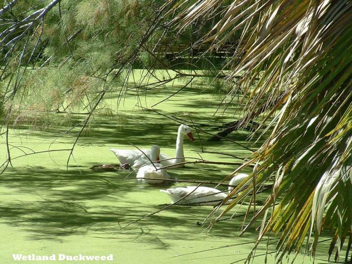 Wetland Duckweed