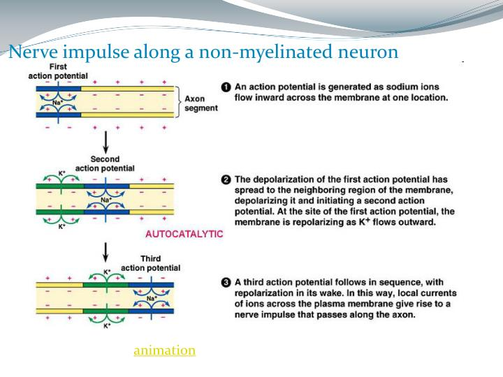 Nerve impulse along a non-myelinated neuron