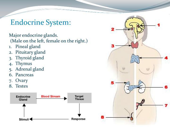 Endocrine System: