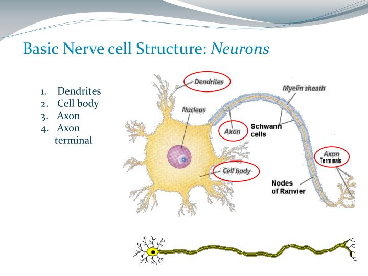 Basic Nerve cell Structure: