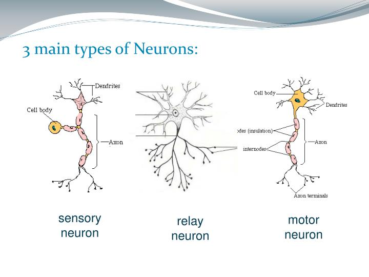 3 main types of Neurons: