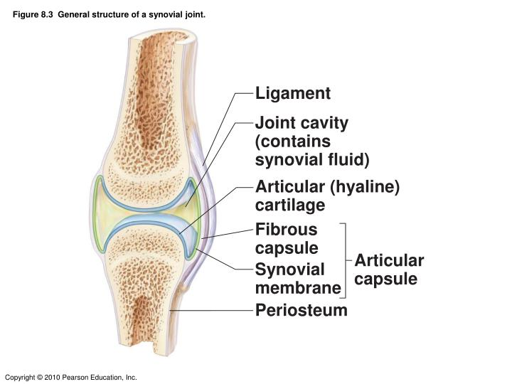 Synovial joint anatomy