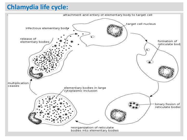 Chlamydia life cycle: