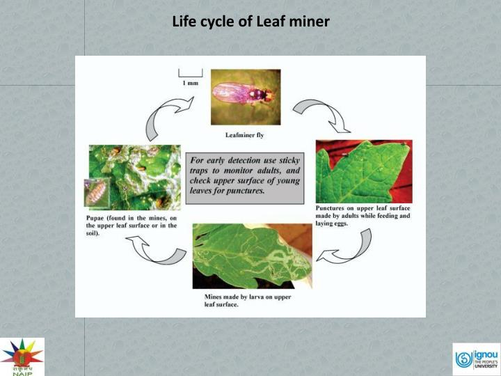Life cycle of Leaf miner