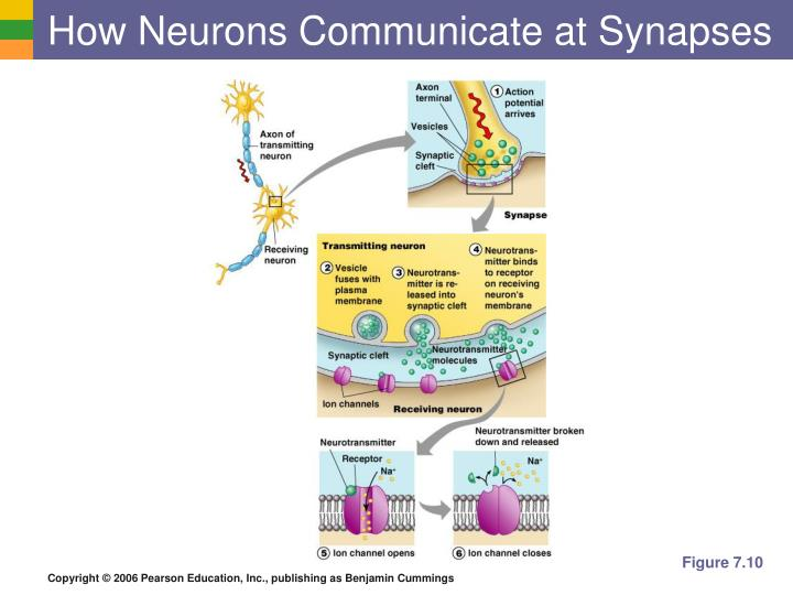 How Neurons Communicate at Synapses