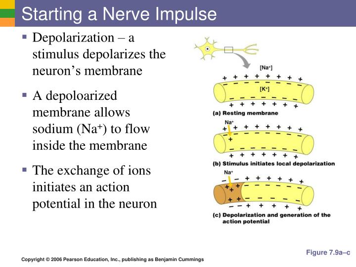 Starting a Nerve Impulse
