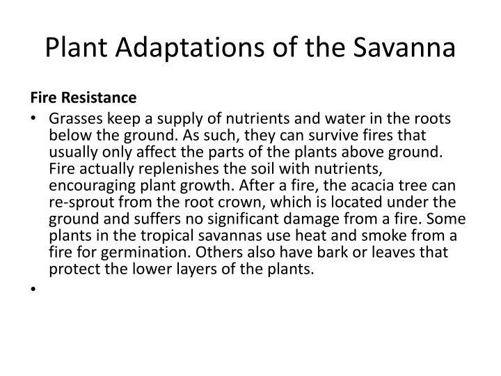 Plant Adaptations of the Savanna