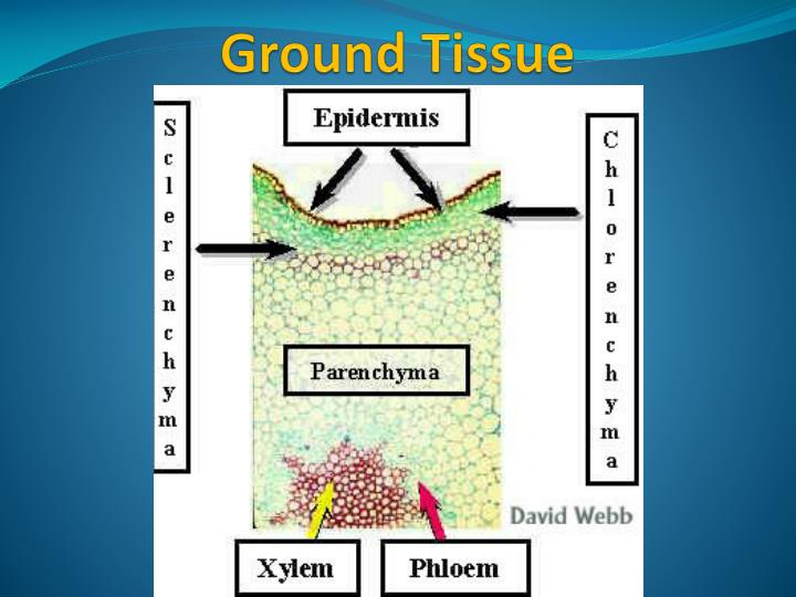 ground tissue Ground tissue-between the epidermis and the ring of vascular tissue in dicots is the cortex most cells of the cortex are parenchyma cortical cells are photosynthetic in plants and often store starch in dicots, the ground tissue with the parenchyma cells in the center of the stem is specialized for storage and is called pith.