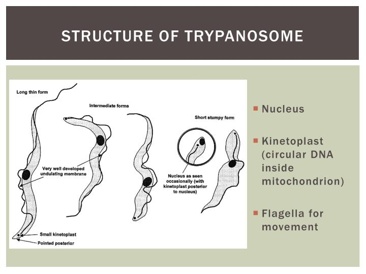 Structure of trypanosome
