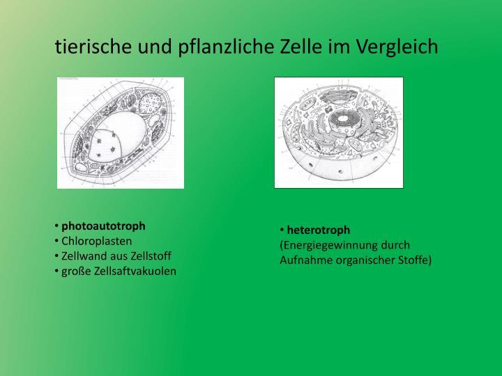 Arbeitsblatt Pflanzliche Tierische Zelle : Ppt tierische zelle powerpoint presentation id