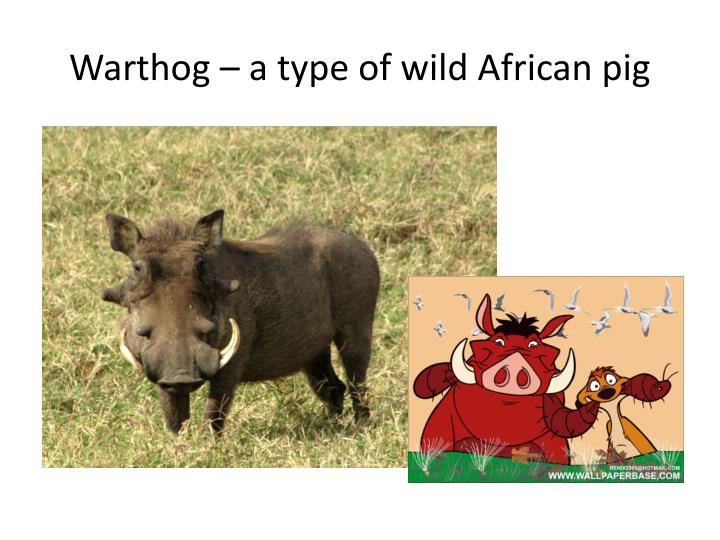 Warthog – a type of wild African pig