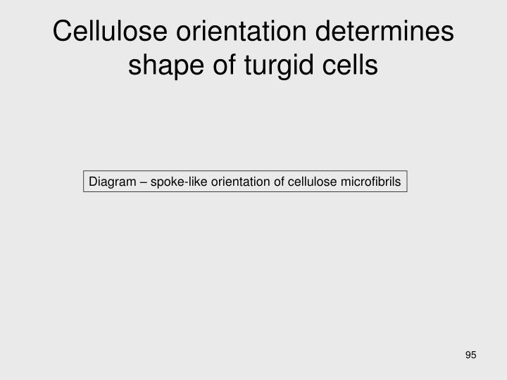 Cellulose orientation determines shape of turgid cells