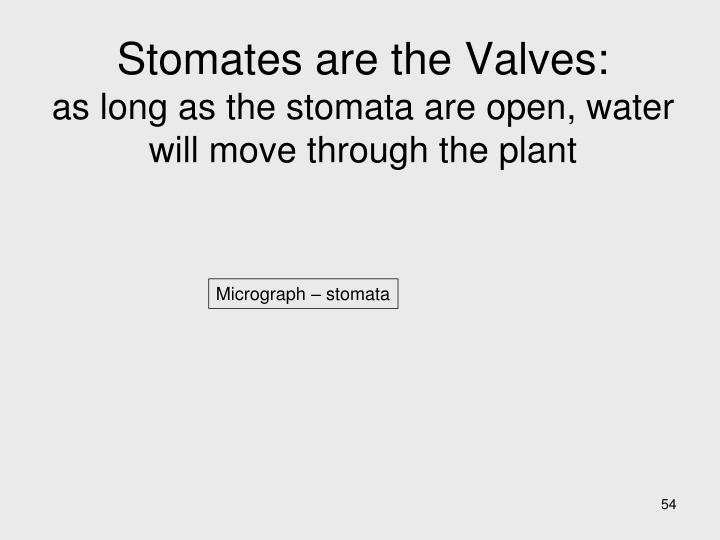 Stomates are the Valves:
