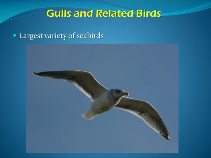 Gulls and Related Birds