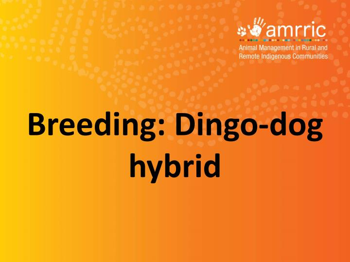 Breeding: Dingo-dog hybrid