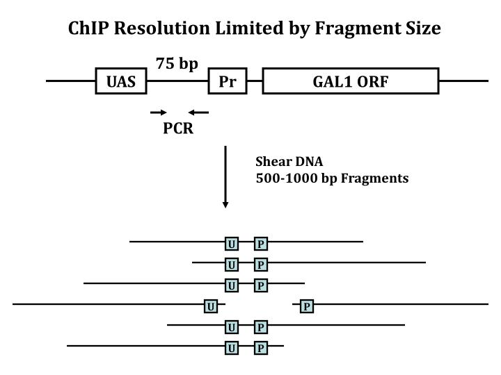 ChIP Resolution Limited by Fragment Size