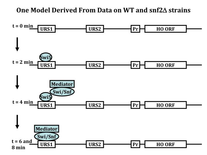 One Model Derived From Data on WT and snf2
