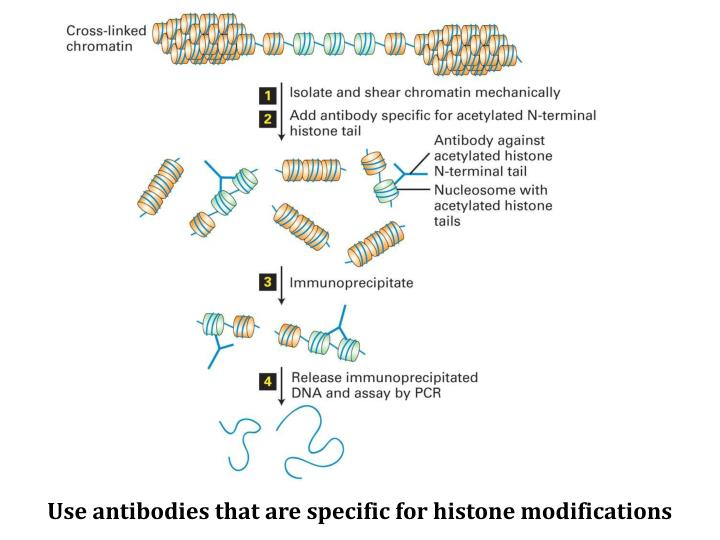 Use antibodies that are specific for histone modifications