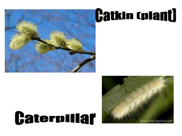 Catkin (plant)