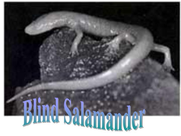 Blind Salamander
