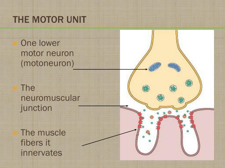 One lower motor neuron (