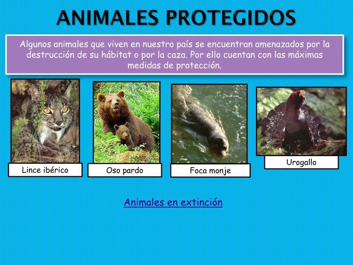 Algunos animales que viven en nuestro país se encuentran amenazados por la destrucción de su hábitat o por la caza. Por ello cuentan con las máximas medidas de protección.