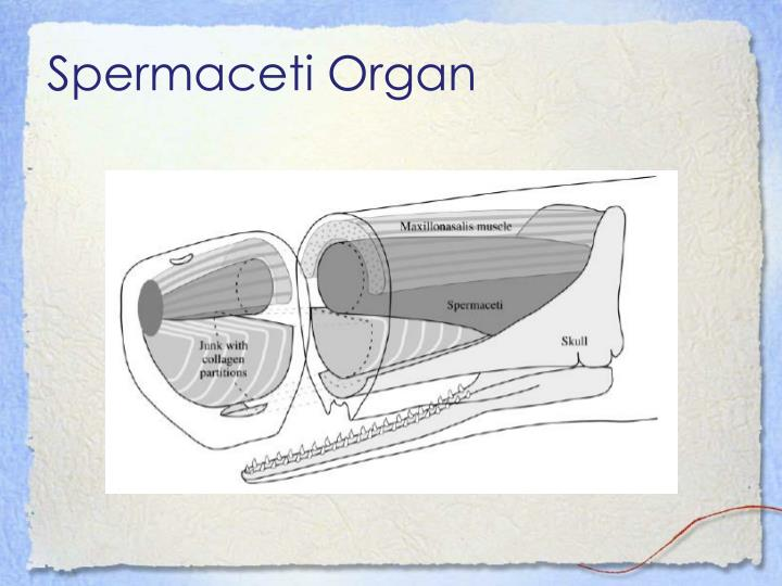 Spermaceti Organ