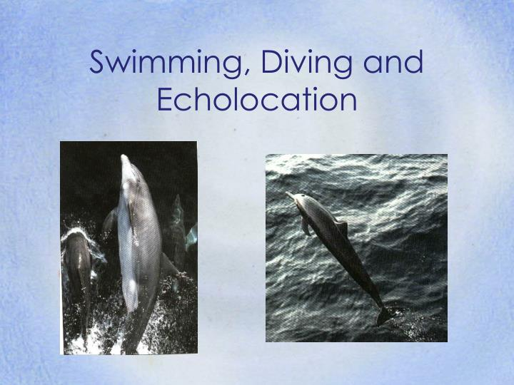 Swimming diving and echolocation