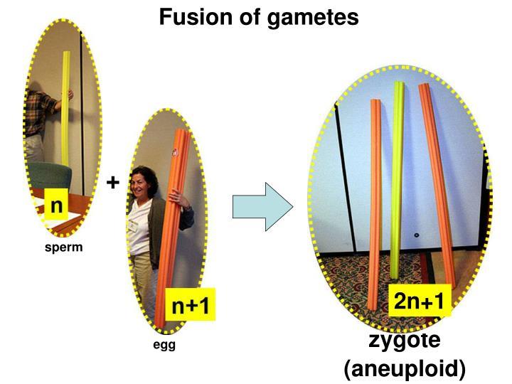 Fusion of gametes