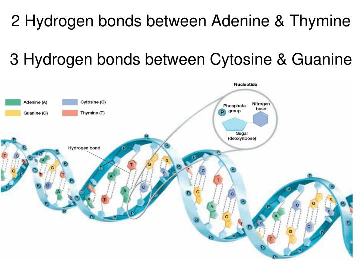 2 Hydrogen bonds between Adenine & Thymine