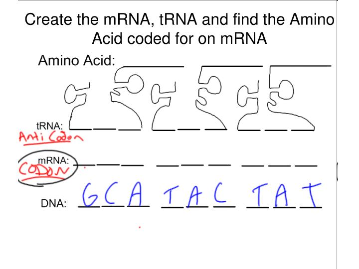 Create the mRNA, tRNA and find the Amino Acid coded for on mRNA