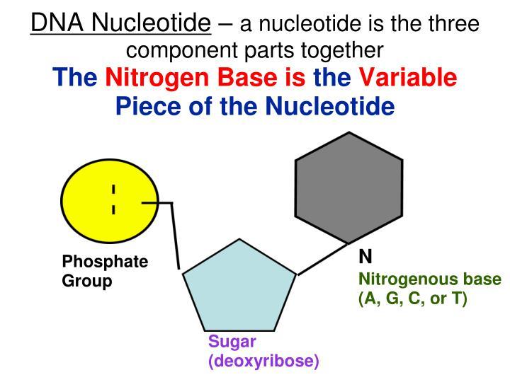 DNA Nucleotide