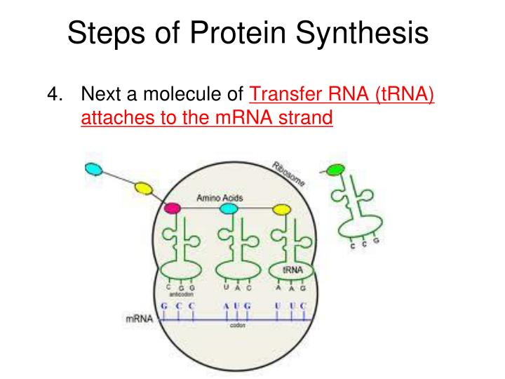 Steps of Protein Synthesis