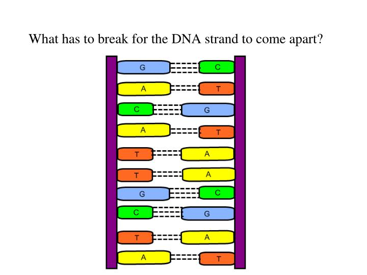 What has to break for the DNA strand to come apart?