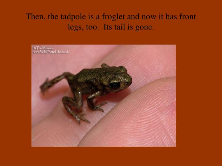 Then, the tadpole is a froglet and now it has front legs, too.  Its tail is gone.