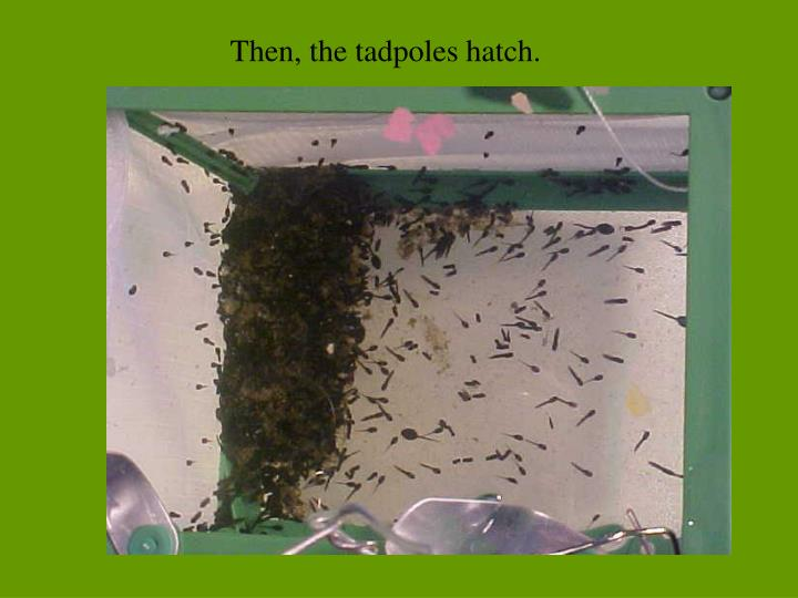 Then the tadpoles hatch