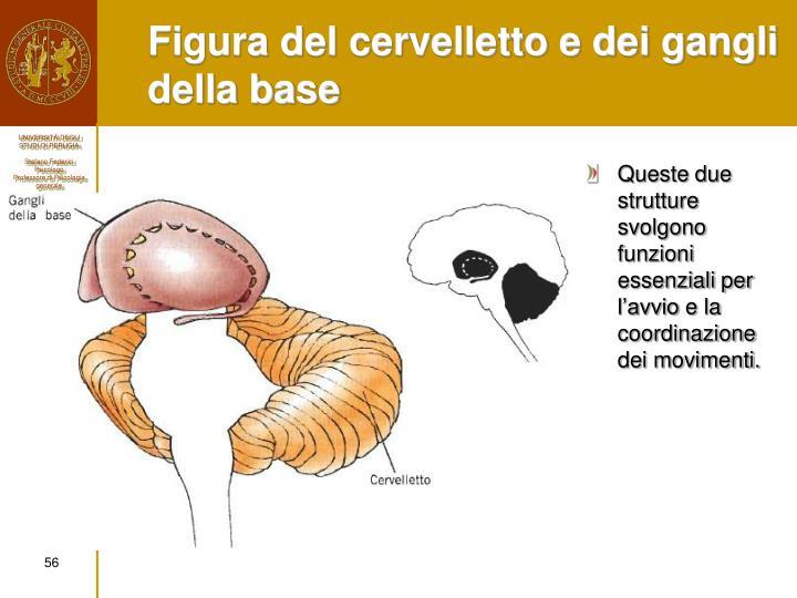 Figura del cervelletto e dei gangli della base