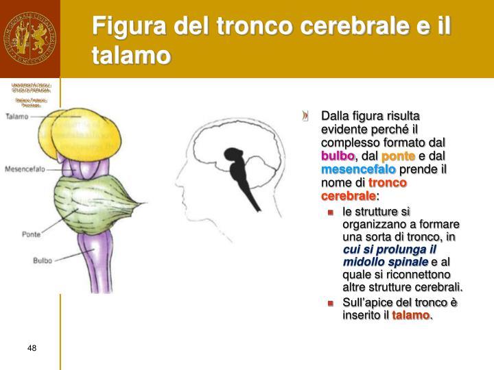 Figura del tronco cerebrale e il talamo