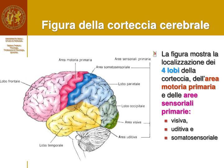 Figura della corteccia cerebrale