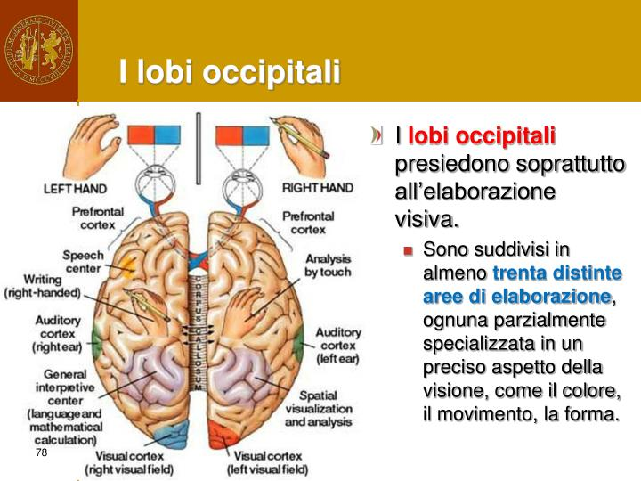 I lobi occipitali