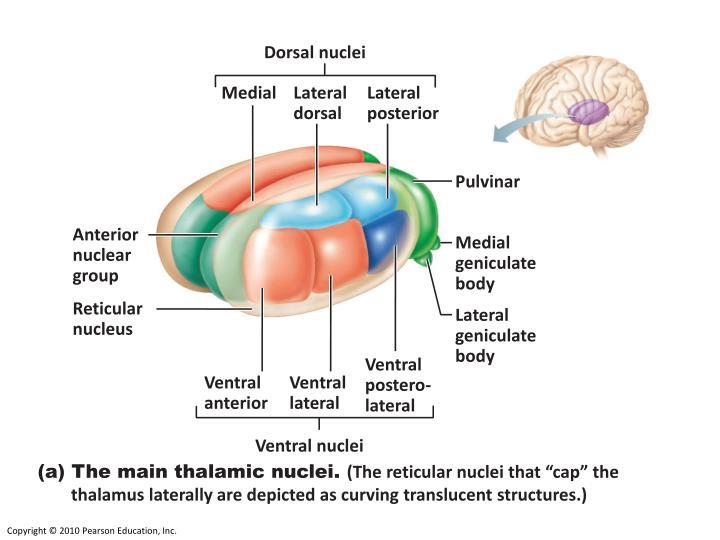 Dorsal nuclei