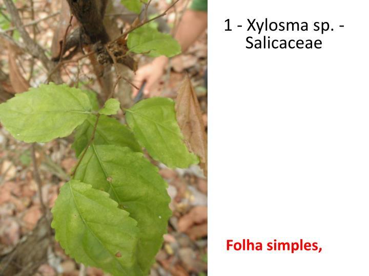 1 - Xylosma sp. - Salicaceae