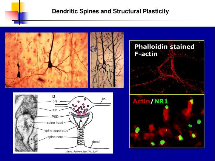 Phalloidin stained F-actin