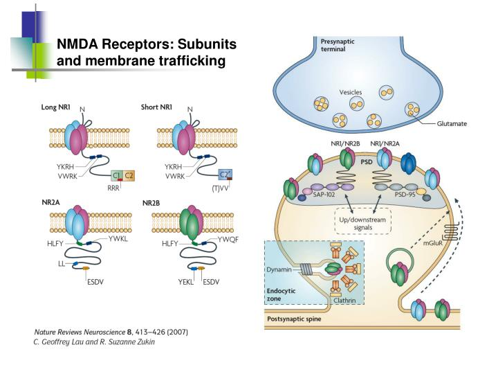 NMDA Receptors: Subunits and membrane trafficking
