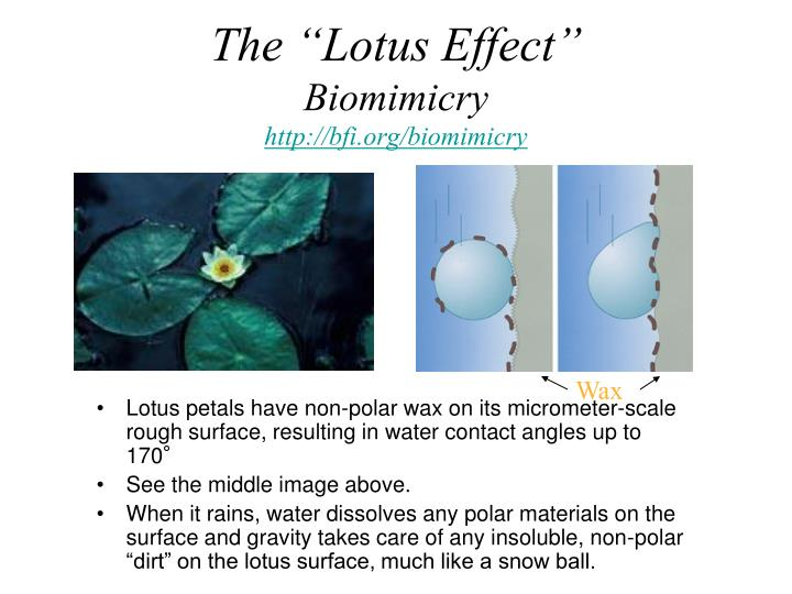 """The """"Lotus Effect"""""""