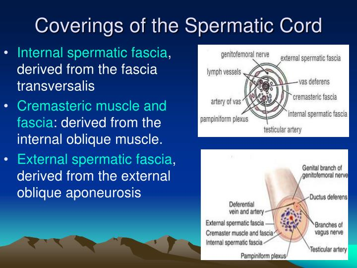 Coverings of the Spermatic Cord